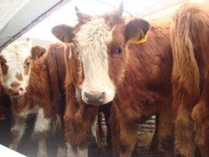 ценный, хозяйственный, биологический, калмыцкий, корова