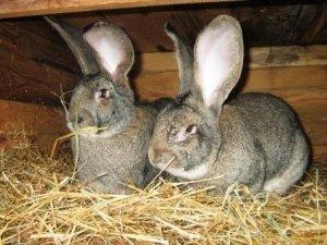 Мнение о том, что матери-крольчихи могут съедать своё потомство ошибочно.