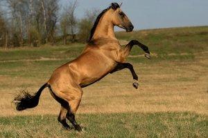 Ахалтекинец превосходит по скоросте и выносливосте, красоте и силе