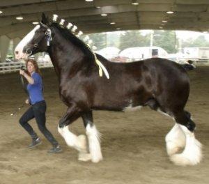 Данный тип лошади отлично привыкает к хозяину