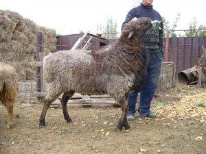 Необычна порода эдильбаевских овец
