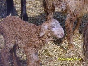 Мясные качества курдючных овец данной породы сразу же преодолевает любую конкуренцию