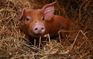 Дюрок порода свиней