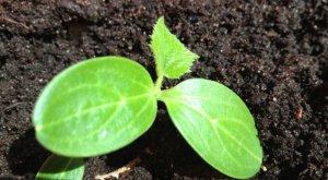 Выращивание семенами можно начинать при температуре грунта не меньше 12 градусов