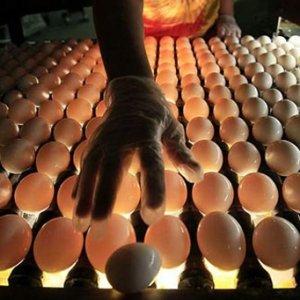 В инкубатор помещаются только лучшие яйца