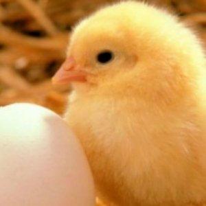 Чтобы цыплята сформировались, важно выполнять все правила ухода