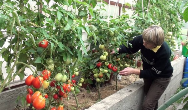 Правильное мульчирование томатов в теплице