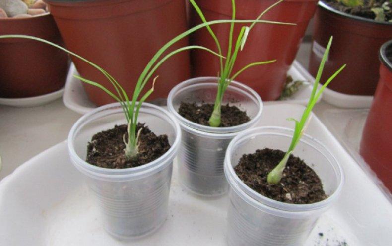 Выращивание нолины из семян