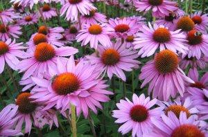 Эхинацея цветок фото