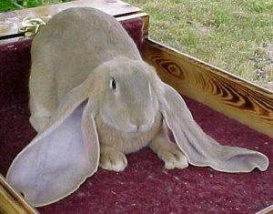 Кролики породы Баран-настоящий клад для фермера