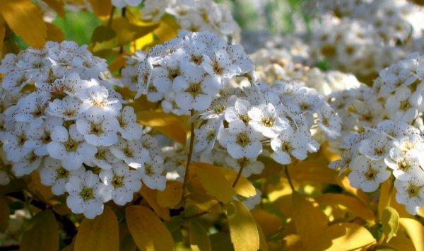 Цветущие кустарники для дачи - названия и фото растений 17