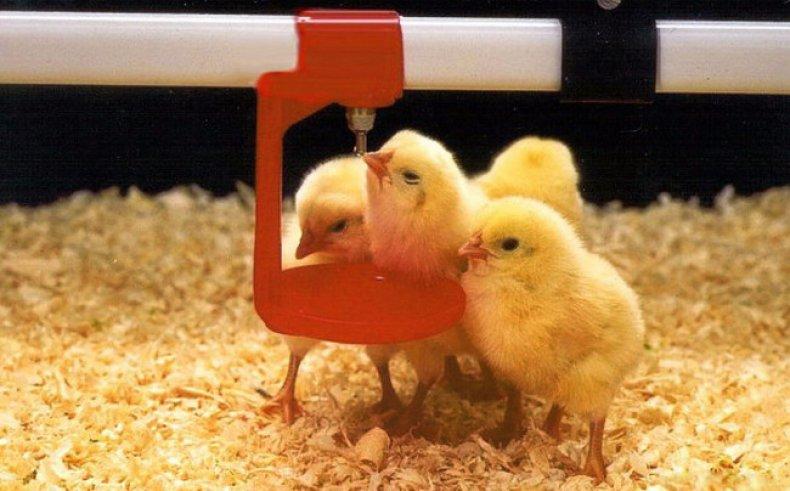 Энфрофлоксацин для лечения цыплят