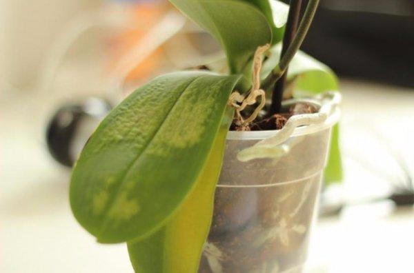 Почему пожелтели листья у орхидеи