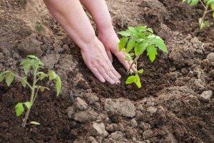 земля под рассаду помидор