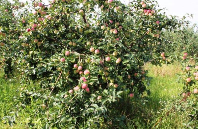 Яблоня «Синап орловский»