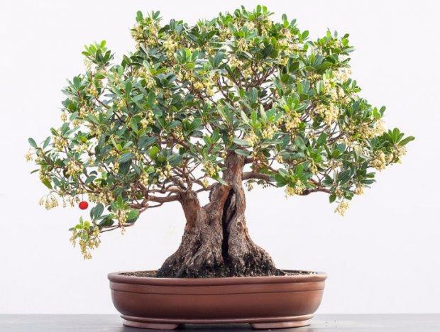 Земляничное дерево из семян выращивание 390