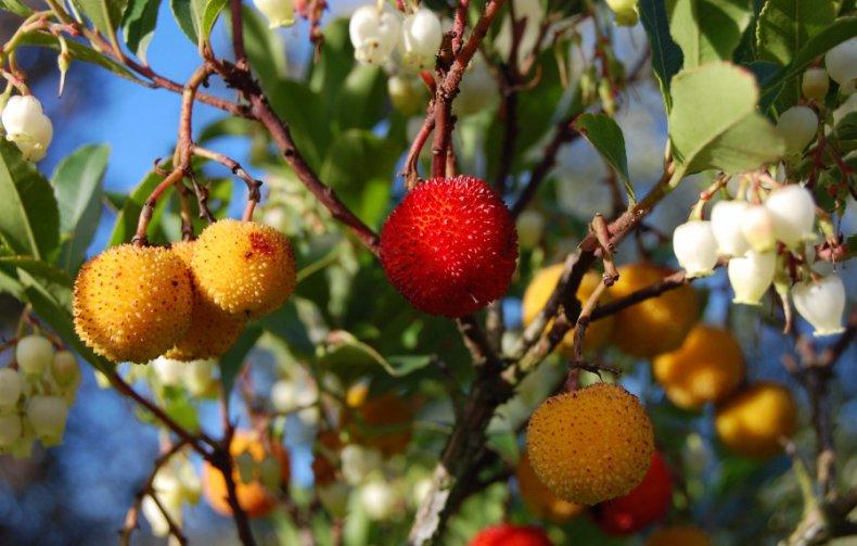 Как выращивать земляничное дерево в домашних условиях?