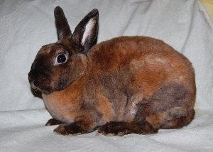 кролик, дорога, породы Рекс, инфекционный насморк, кроликов породы, кроликов породы Рекс