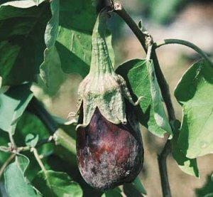 Фитофтороз на плодах баклажан