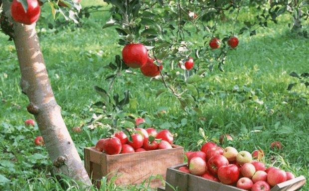 Яблоня грушовка описание фото отзывы