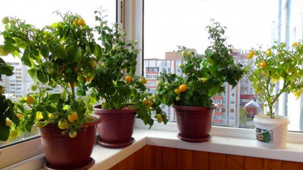 Выращивание помидоров в квартире на подоконнике