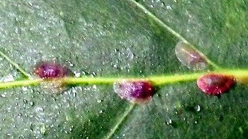 стрептокарпус, болезнь, вредитель, растение