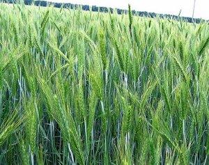 Тритикале гибрид пшеницы