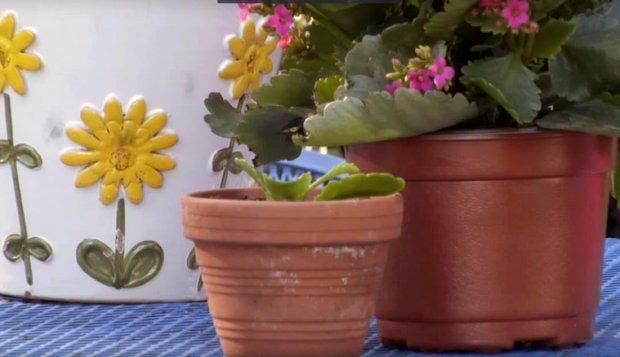 Вегетативное размножение цветущего каланхоэ
