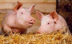 Крупная белая порода свиней
