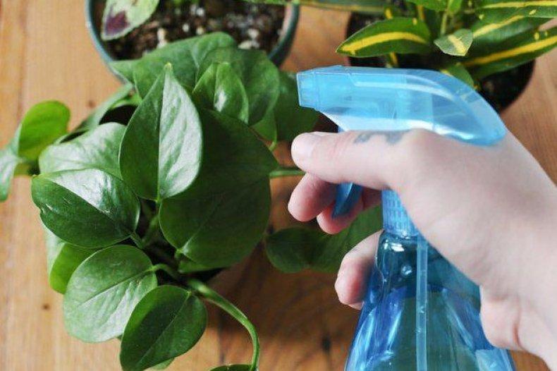 Опрыскивание комнатных растений препаратом