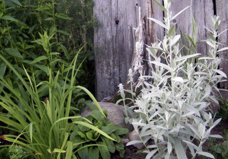 Полынь на садовом участке