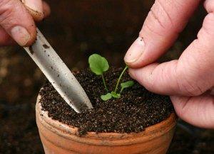 Петунья уход и выращивание