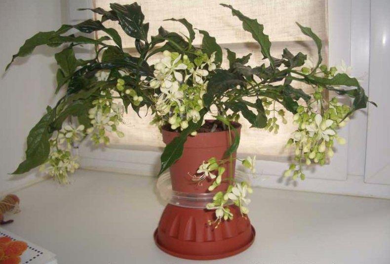 уход, клеродендрумом, домашний, выращивание, комнатных условиях