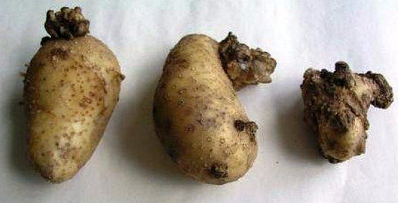 Болезни картофеля в картинках фото описание