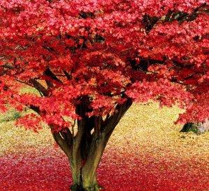 Как вырастить клен красный на участке