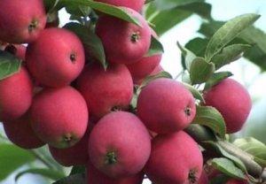 Яблоня сорта «Жигулевское»
