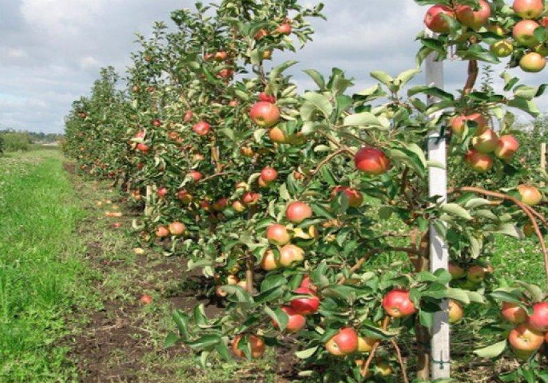 Саженцы яблони сорта «Жигулевское»