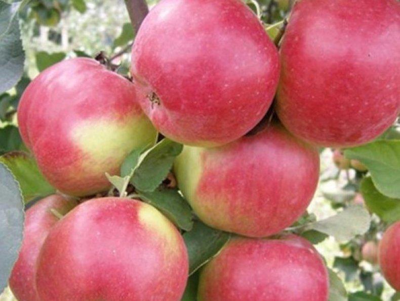 Яблоки сорта «Жигулевское»