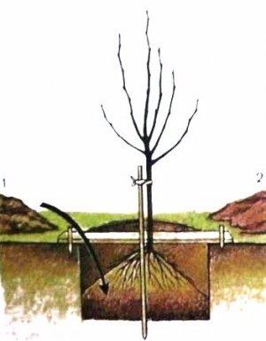 Посадка яблони сорта «Жигулевское»
