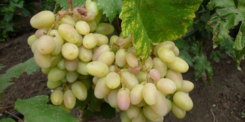 Гибридная форма винограда «Преображение»