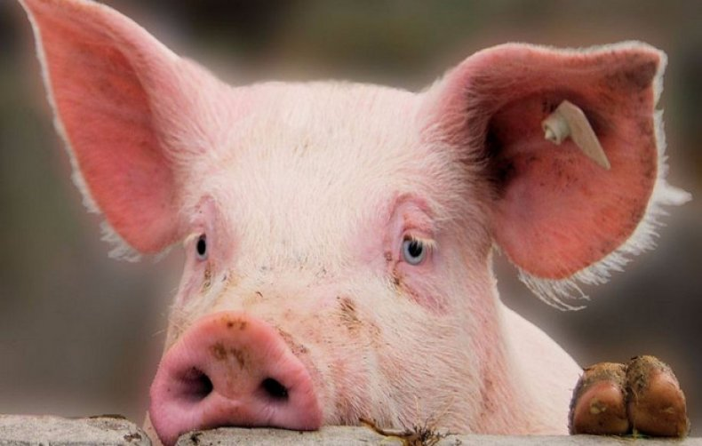 Африканская чума свиней симптомы и профилактика болезни, как не допустить распространение