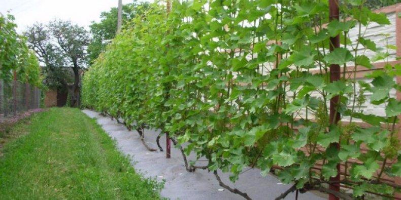 защищенное от ветров место для винограда