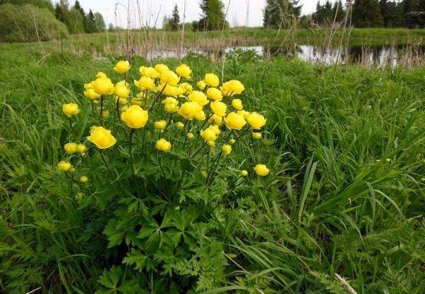 Выращивание купальницы из семян в домашних условиях. Купальница и её виды