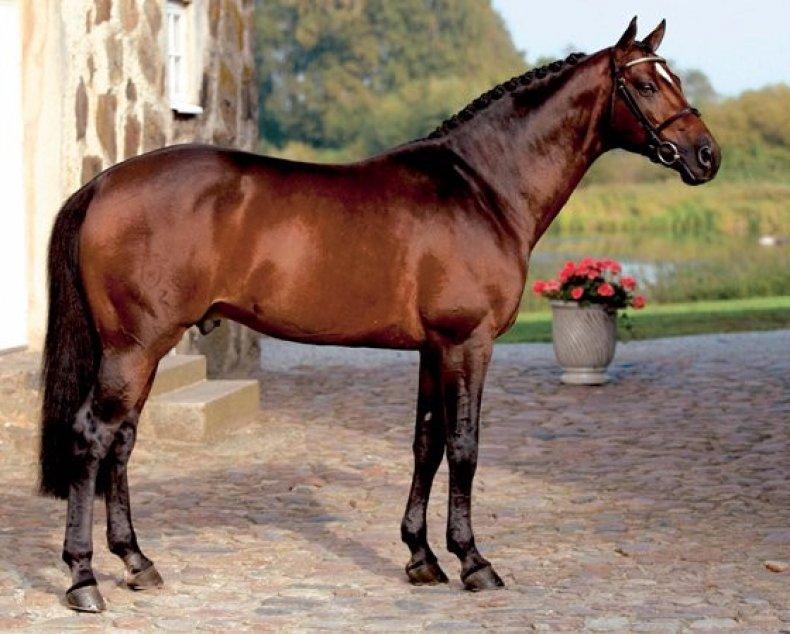 верховой, лошадь, арабских скакунов, крепким здоровьем, новой породы
