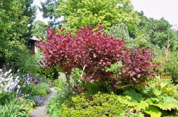 Скумпия посадка и уход дизайн в саду