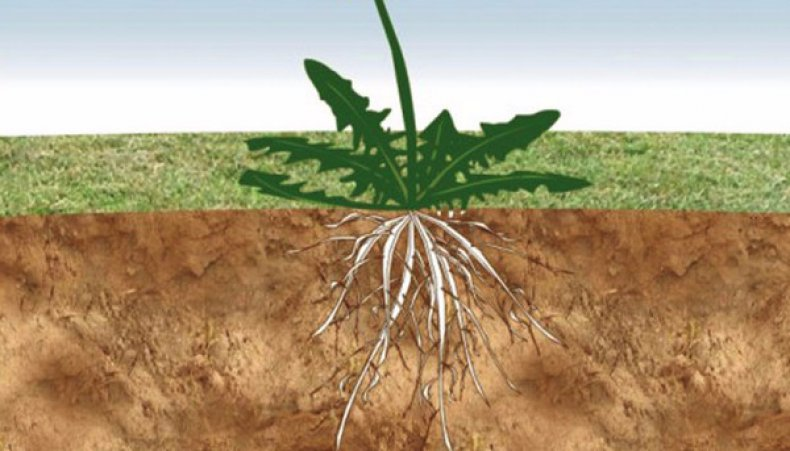 Препарат развивает корни