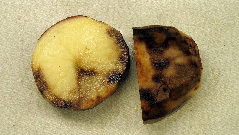 Картофель, пораженный фитофторозом