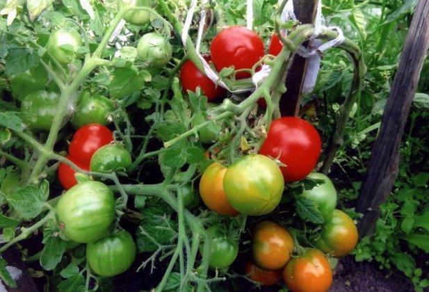 томат северянин в теплице видео
