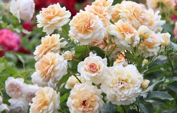 Розы флорибунда посадка и уход. Как посадить и вырастить розы флорибунда