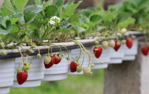 Выращивание ампельной клубники: посадка и уход